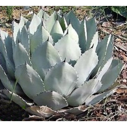 Agave parryi subsp. parryi