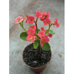 """Euphorbia milii """"Kristova..."""
