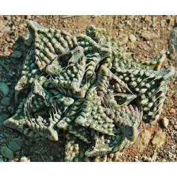 Faucaria tuberculosa cv....