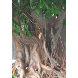 """Ficus religiosa """"Budhův strom"""""""