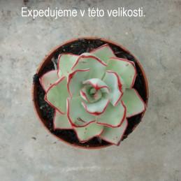Echeveria strictiflora Saltilo