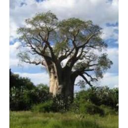 """Adansonia za """"Lahvový strom"""""""