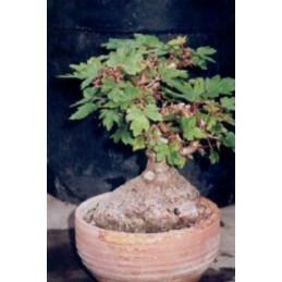 Begonia richardiana
