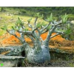 Pachypodium rosulatum...