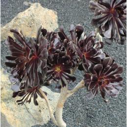 Aeonium arboreum v....