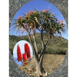 """Aloe barberae """"Stromová Aloe"""""""
